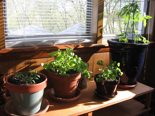 Indoor herb garden with rosemary | Kris Allen Daily